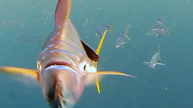 Got Bait? Mahi Madness Part 3: Fish Attack the Camera!
