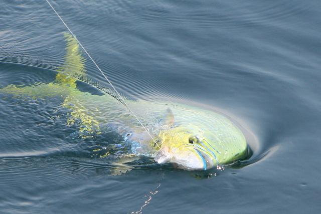 Pop Fishing Quiz: Dolphin Fish Factoids thumbnail