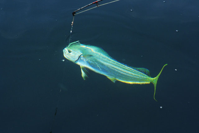 Fishing Friday: 5 Tips to Trigger Mahi-Mahi Madness