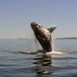 Freeing a Humpback Whale