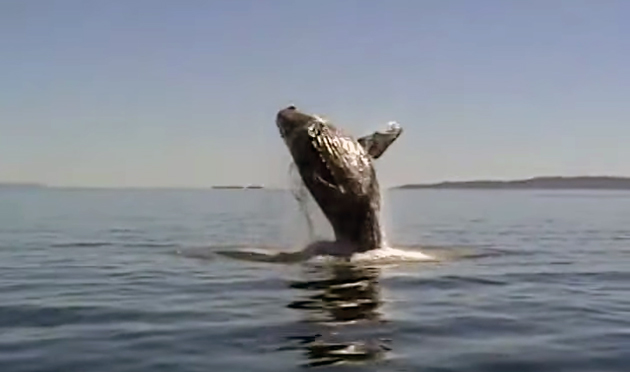 humpback thanks humans with breaches and fin slaps
