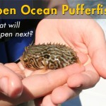 Picture This: Puffer Fish in the Open Ocean