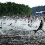 Manic Monday Videos: Asian Carp Hunt Bowfishers