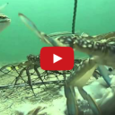 Manic Monday Video: Crabbing with a GoPro Camera