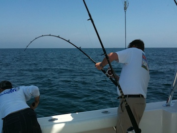 The author hooks a Cobia.