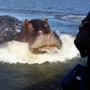 Hippo attacks boat