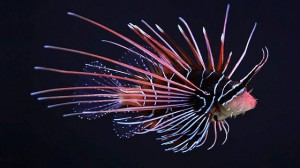 This clear-fin lionfish is beautiful... and potentially deadly, if you didn't know any better.